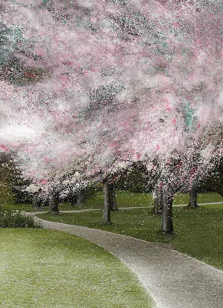 Cherry Blossoms © Patricia Pinsk